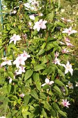Beautiful pink flowers in a dacha garden