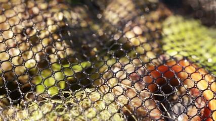 Rapan in grids