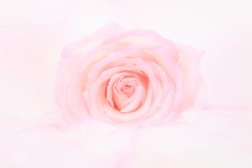Petals of  rose