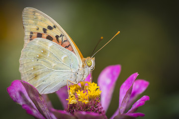 Colorful butterfly collecting pollen from flowers
