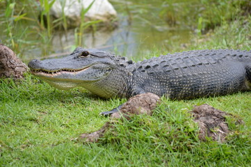 Alligator on grass near swamps