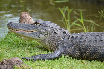 Close-up of an Alligator on grass near swamps