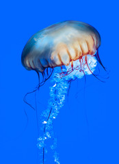 Pacific sea nettle (Chrysaora fuscescens)