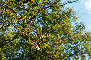 Branch with berries in summer