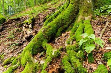 Radice di albero con muschio