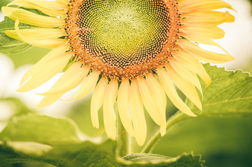 Helianthus or Sunflower vintage