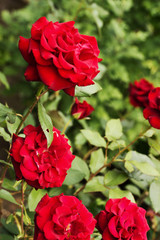 beautiful red roses on the bush