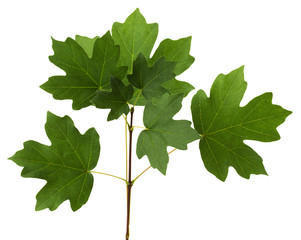 branch with green leaves of maple