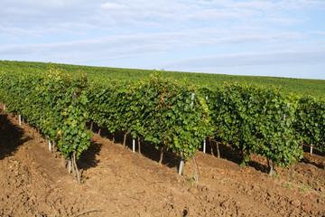 Hill vine plantation