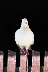 white dove on the fence on a black background