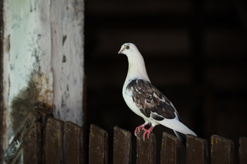 dove on the fence on a black background