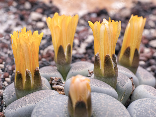 canvas print picture Lithops Lesliei