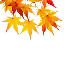 rot gelbe Ahornblätter vor weißem Hintergrund