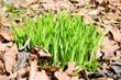 Frühlingsbote, Gräser