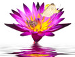 butterfly on lotus