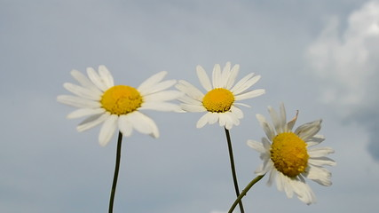 camomile closeup on blue sky, nature, summer details