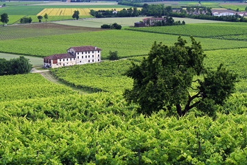 View of vines on a hill in the north east of Italy