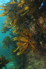 Big rock covered with kelp Ecklonia radiata