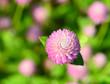 pink Everlasting flowers