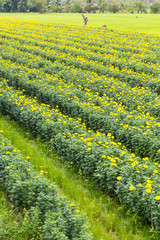 Thailand s agriculture marigolds bloom more beautifully fertile