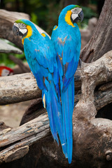 couple macaw