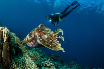 Broadclub cuttlefish Sepia latimanus in Gorontalo  underwater