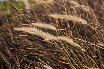 Beown grass. Reed