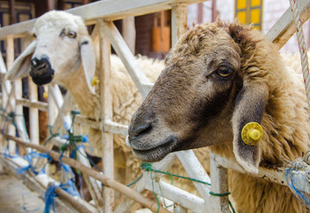 Head of brown sheep in farm