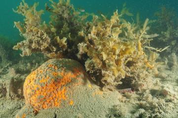 Orange boring sponge protruding from sandy bottom