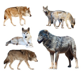 Set of few wolves. Isolated  on white
