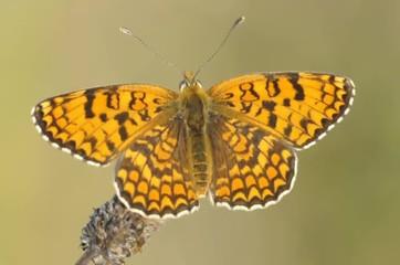 Farfalla Melitea