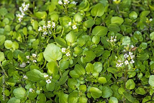 Fotobehang Water planten Brunnenkresse, Nasturtium officinale