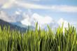 canvas print picture - Gras auf blauem Hintergrund