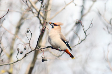 Waxwing on branches without leaves