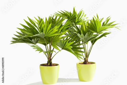 Aluminium Palm boom Palmblätter, Palme, Livistona rotundifolia