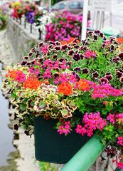 geranium and petunia