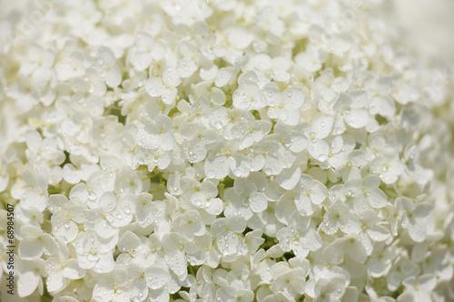Foto op Plexiglas Hydrangea アジサイの花