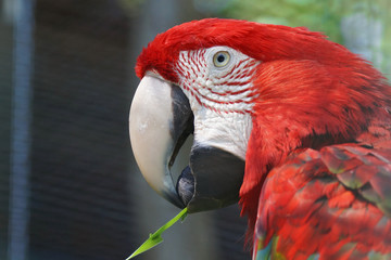Closeup of a beautiful red  macaw