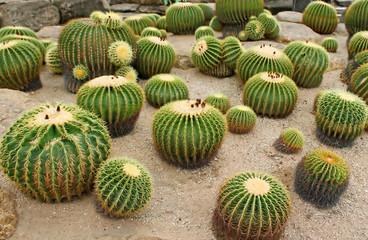 Giant cactus in Nong Nooch Tropical Botanical Garden, Pattaya