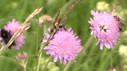 honey bee on pink flower in summer meadow.