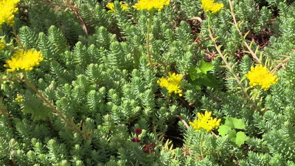 Yellow succulent orpin plant flower blooms grow in garden