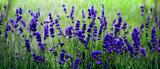 Lavendelfeld - Fine Art prints