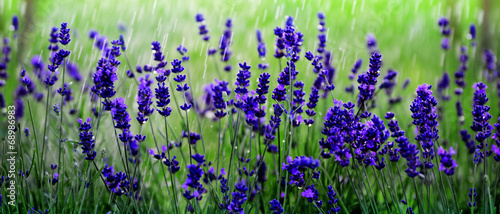 Obraz na Szkle Lavendelfeld