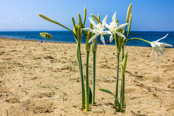 Sea daffodil grows on coastal sands.