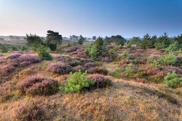 flowering heather on hills