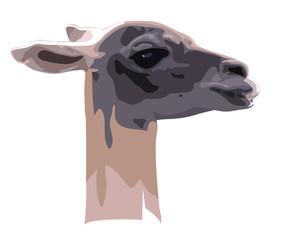 head of camel guanaco