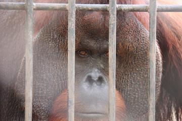 uranutan in the cage