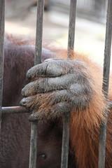 Hand of uranutan in the cage