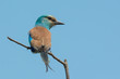 An Abyssinian Roller (Coracias abyssiniica) looking over his sho