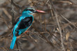 Blue-Breasted Kingfisher (Halcyon malimbica) perched in a dead g